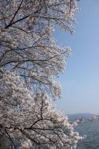 sakura festival asia korea gyeongju
